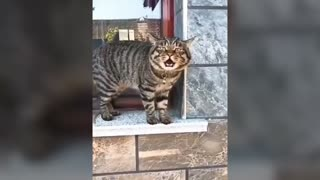 Funny and crazy cats talking like hooman