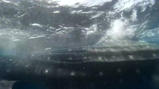 Whale Shark very close call!