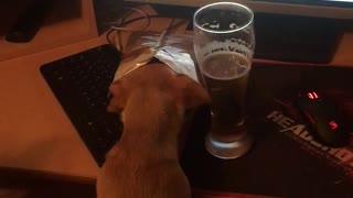Little dog drink beer