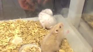 Hamster Acrobat