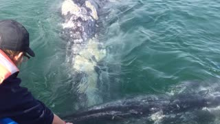 Whale Raises Calf to Boat