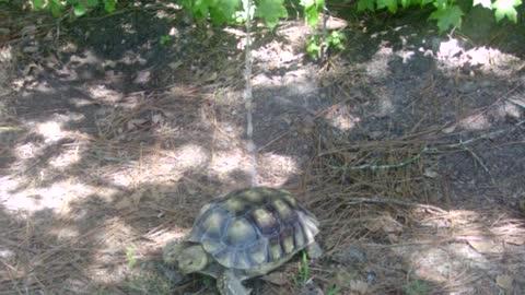 African Spur Tortoise getting a quick splash!