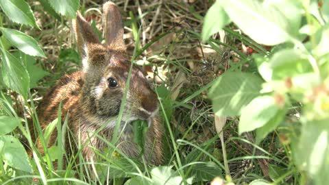 marsh rabbit feeds on leaves