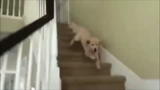 Kelly Puppy can't handle stairs - Dog accident