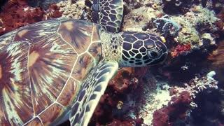 Large sea turtle.
