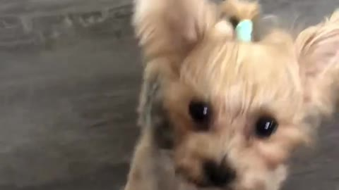Adorable Yorkshire Terrier shows off her new tricks