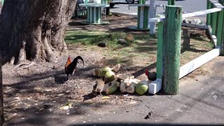 Chickens Eating Coconut