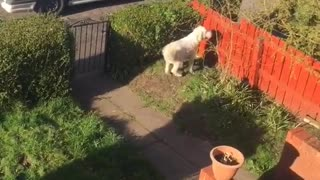 Excited Dog Jumps for Ice Cream Man