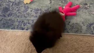 Pomeranian puppy Gigi 4