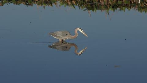 Great Blue Heron Feeding in the lake