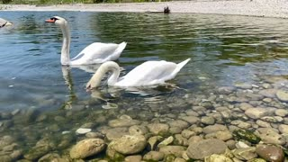 Two beautiful swans