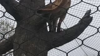 Mountain lion in a zoo