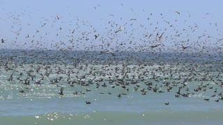 California Beach Birds & Sardines