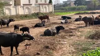 Beautiful animals in my village you must like it