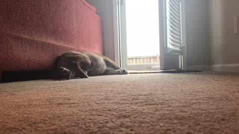English Bulldog Reacts To Nose Balm