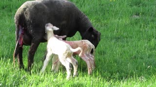 Watch the birth of a sheep for her two children