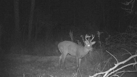 Cautious 7 point buck feeding and checking out camera