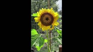Sunflower growth timelapse