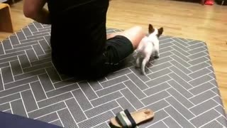 Jack Russell puppy runs circles around owner