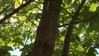 """Green caterpillar climbing up a pin oak. """"Hey Dad I found a caterpillar!"""