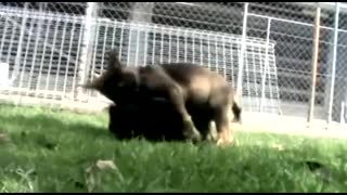 Queensland Police Dog Squad puppies at play