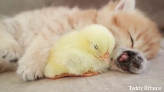 Kitten sleeps sweetly with Chicken Baby