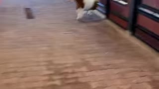 """Mini Pony Gets Really Excited Around His New """"Home"""""""