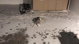 Owner Gets Mad When Husky Refuses To Come Inside