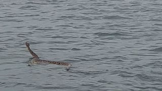 Rattlesnake Swims at the Beach