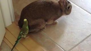 Budgie Loves Rabbit 2