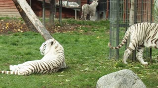 Special tigers