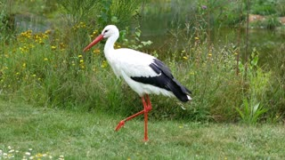 White stork 1