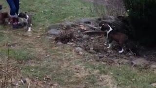 Phoenix Ridge Boxers, playing outside!