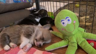 PUPPY SLEEPING WITH OCTUPOS