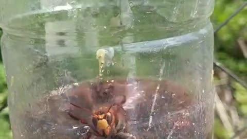 hornet trap
