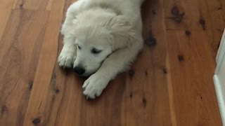Golden Retriever Puppy Happily Runs Rampant with Toilet Paper