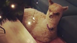 Pet Alpaca Not Sure About Christmas