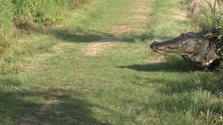 Large Alligator crossing a trail