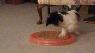 Bailey try to play with cat chaser toy