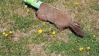 Rescuing a Groundhog with Pringles Can Stuck on its Head
