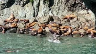 Noisy Sea Lions having Tons of FUN