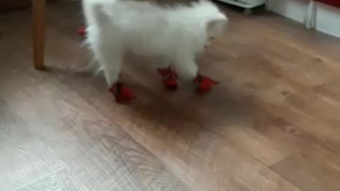 the dog in your new shoes