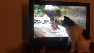 Cat trying to catch a bird on TV
