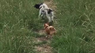 Dogs Playing Fetch OutDoors