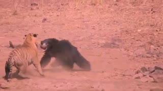 tiger vs bear real fight