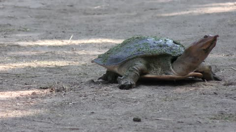 Florida Softshell Turtle going to lay eggs