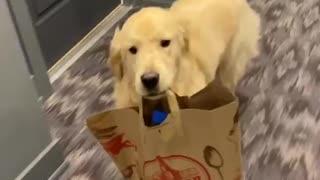 Helpful Golden Retriever makes an adorable delivery boy