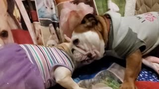 Bulldog playtime