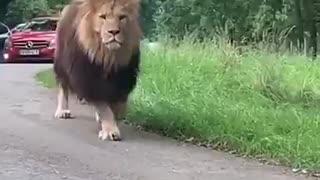 A lion walks between cars on a safari