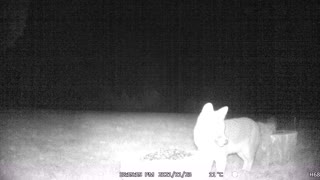 Fox Eating Seeds!